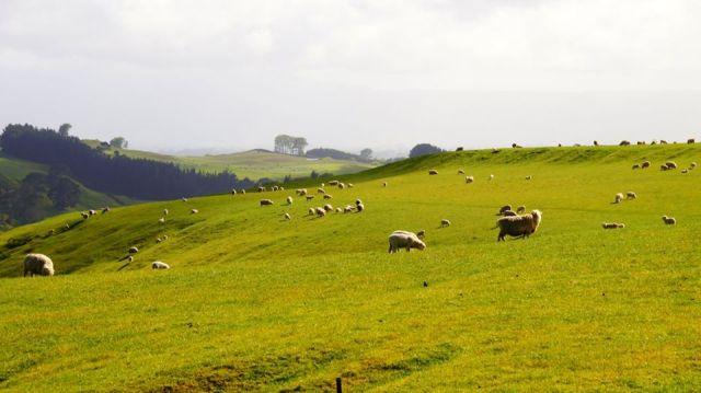 sheep-nz